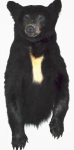 bearhalf